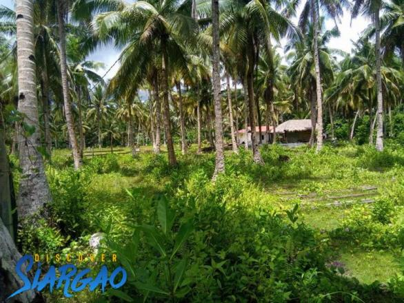 1,000 sqm Lot For Sale in Sta. Fe General Luna with Lots of Coconut Trees in Siargao Island