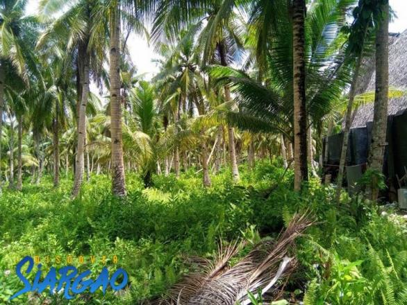 6,000 sqm Lot For Sale in Sta. Fe General Luna with Lots of Coconut Trees in Siargao Island